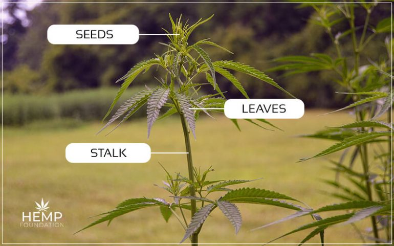 The Usages Of Every Part Of Hemp Plant